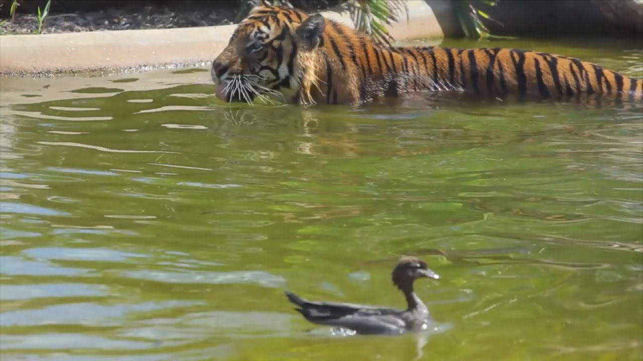 World's Bravest Duck Teases Tiger During Game Of Tag In Swimming Pool